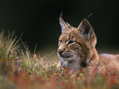 Young European Lynx Waking up Among Bilberry Plants, Sumava National Park, Bohemia, Czech Republic