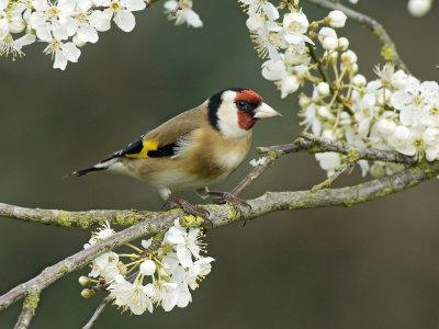 Goldfinch Perched Amongst Blackthorn Blossom, Hertfordshire, England, UK