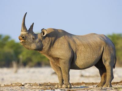 Black Rhinoceros, Flehmen Response, Etosha National Park, Namibia