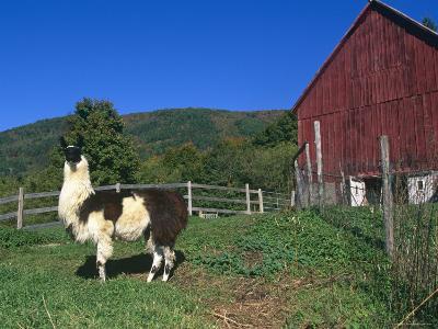 Domestic Llama, on Farm, Vermont, USA