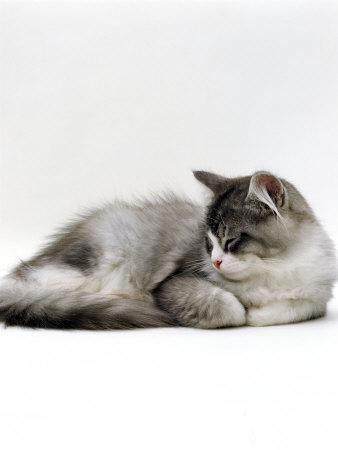 Domestic Cat, 5-Month Silver Bicolour Chinchilla-Cross Kitten, Sleeping