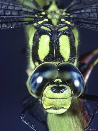 'Southern Hawker Dragonfly (Aeshna Cyanea) Male, Close-Up ...