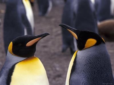 Two King Penguins Face to Face, (Aptenodytes Patagoni) South Georgia