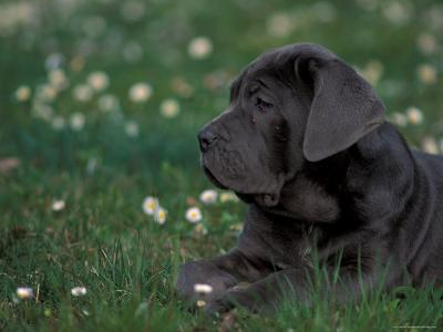 Black Neopolitan Mastiff Puppy Lying in Grass