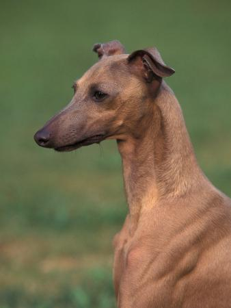 Fawn Whippet Looking Down