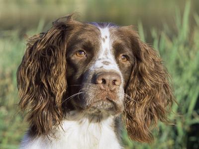 English Springer Spaniel Dog, USA