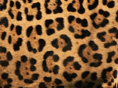 Close-Up of Jaguar Cat Coat,