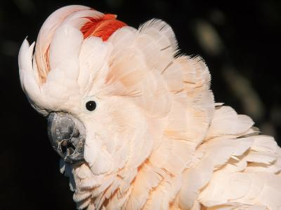 Salmon Crested Cockatoo (Moluccan Cockatoo)
