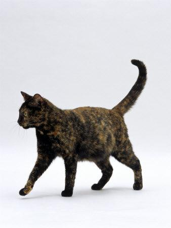 Domestic Cat, One-Year Dark Tortoiseshell Shorthair Cat