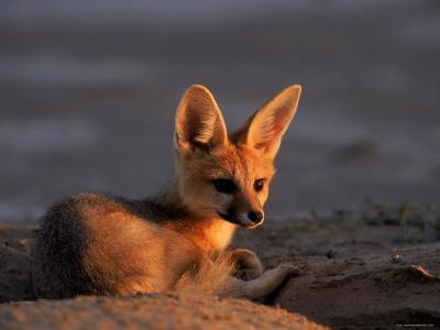 Cape Fox, Kalahari Gemsbok National Park, S Africa