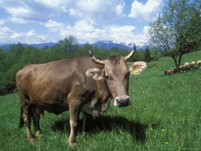 Domestic Cow, Grazing in Unimproved Pasture Tatra Mountains, Slovakia