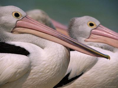 Australian Pelicans, Queensland, Australia