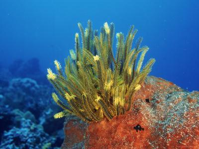 Yellow Featherstars on Sponge, Indo-Pacific