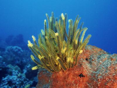 Yellow Featherstars on Sponge, Indo-Pacific