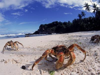 Coconut Crabs on Beach, Christmas Island