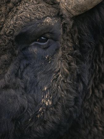 Close-Up Face of European Bison {Bison Bonasus)
