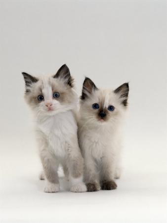 Domestic Cat, 8-Week, Brother and Sister, Ragdoll Cross with Birman