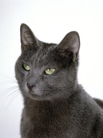 Domestic Cat, Russian Blue Female