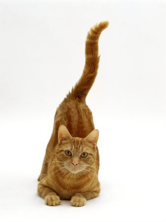 Domestic Cat, Ginger Tabby Female with Rear End and Tail in Air after Enjoying Being Stroked