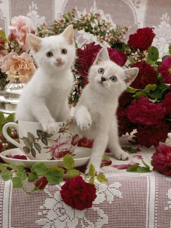 Domestic Cat, Amber-Eyed and Blue-Eyed White Kittens in a Large Teacup with Bowl of Roses