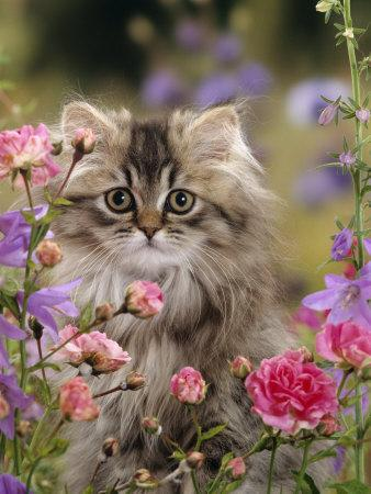 Domestic Cat, Portrait of Long Haired Tabby Persian Kitten Among Dwarf Roses and Bellflowers