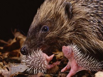 Hedgehog Carrying Newborn to New Nest (Erinaceus Europaeus), UK