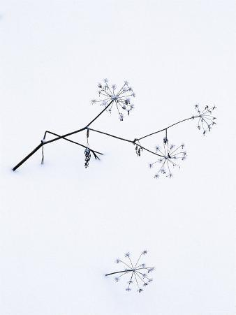 Angelica Stems, in Snow, Norway