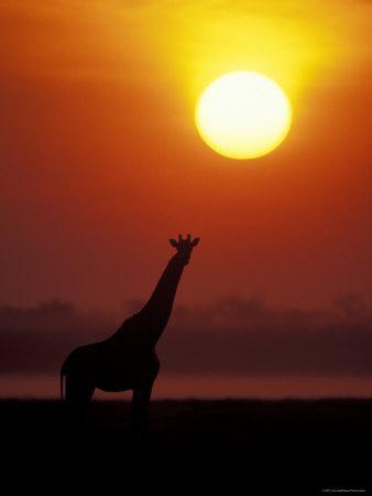 Giraffe Silhouetted at Sunset, (Giraffa Camelopardalis) Namibia Etosha National Park