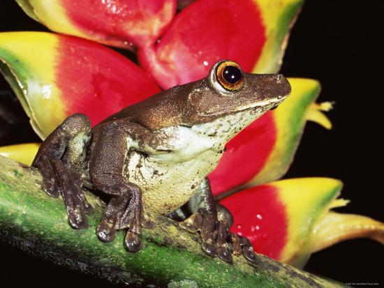 Tree Frog Hyla Sp Ecuadorian Amazon South America