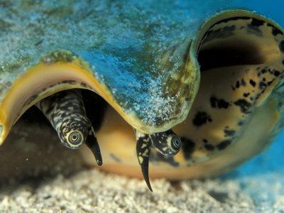 Eyes of Queen Conch, Caribbean (Strombus Gigas)
