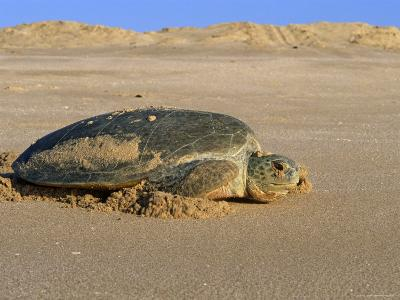 Green Turtle Returns to Sea after Laying Eggs, Ras Al Junayz, Oman