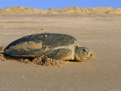 Green Turtle Returns to Sea after Laying Eggs, Ras Al Junayz, Oman