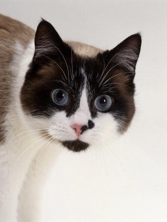 Domestic Cat, Snowshoe Pupils Dilated