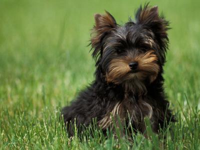 Yorkshire Terrier Puppy Sitting in Grass