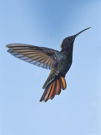 Jamaican Mango, in Flight, Rocklands, Montego Bay, Jamaica