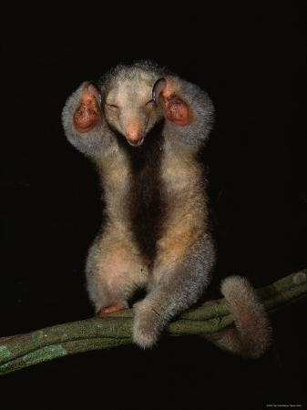 Pygmy / Silky Anteater, South America