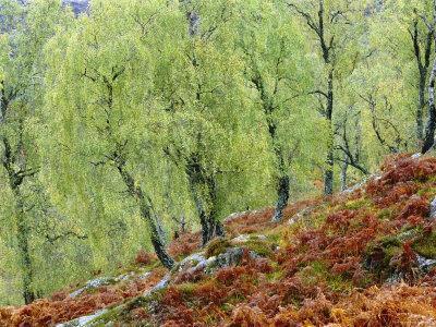 Native Birch Woodland in Autumn, Glenstrathfarrar Nnr, Scotland, UK