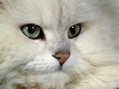 Domestic Cat, Chinchilla Persian Portrait