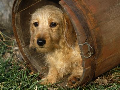 Wire Haired Dachshund, Portrait in Wooden Barrel