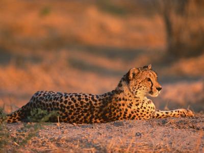 Cheetah, at Sunset, Okavango Delta, Botswana