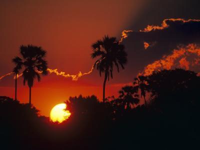 Palm Trees Silhouetted at Sunset, Okavango Delta, Botswana