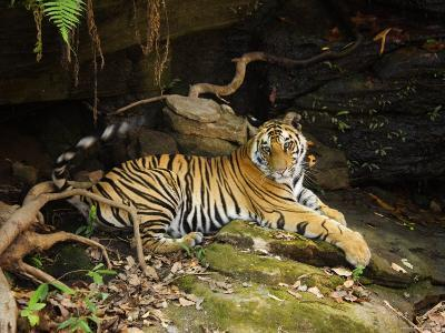 Tiger, Lying on Stone and Flicking Tail, Bandhavgarh National Park, India