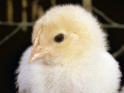 Portrait of a Chick, 3-Week-Old