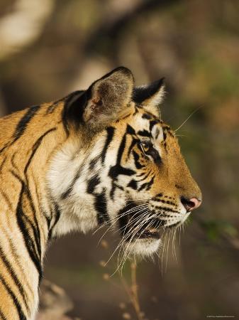 Tiger, Head Profile, Bandhavgarh National Park, India