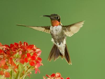 Ruby Throated Hummingbird,Male Feeding on Kalanchoe Flower, New Braunfels, Texas, USA