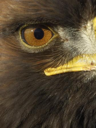 Golden Eagle (Aquila Chrysaetos) Close up of Eye, Cairngorms National Park, Scotland, UK