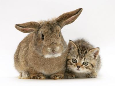 British Shorthair Brown Tabby Female Kitten with Young Agouti Rabbit