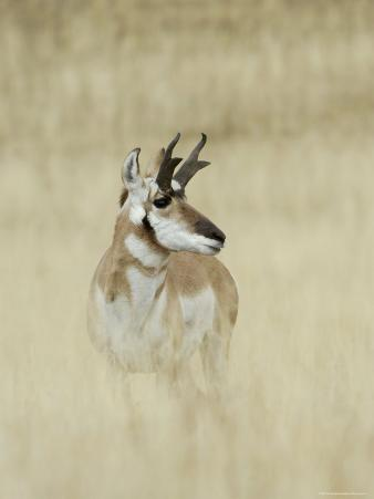 Pronghorn Antelope, Male, Yellowstone National Park, Wyoming, USA