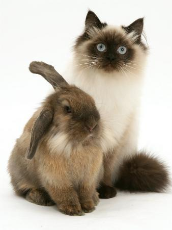 Young Birman-Cross Cat with Dwarf Lionhead Rabbit