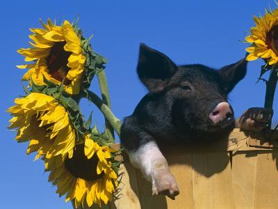 Domestic Piglet in Bucket with Sunflowers, USA